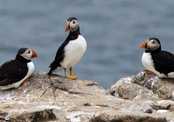 three puffins on the shore